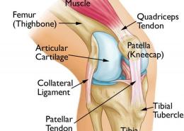 Knee Anatomy Robina Physio
